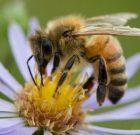 وای زنبور