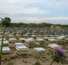 زنبور عسل در صحرا