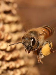 وزوز زنبور عسل