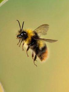 زنبور عسل تنها