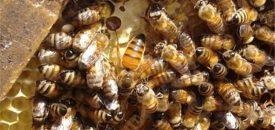 زنبور عسل قوی