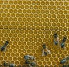 نظم و ترتیب زنبور عسل