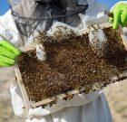 هرزه بافی زنبور عسل