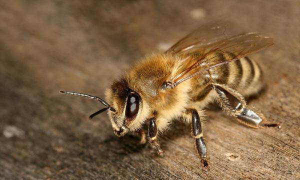 مشخصات مورفلوژی زنبور کارنیکا